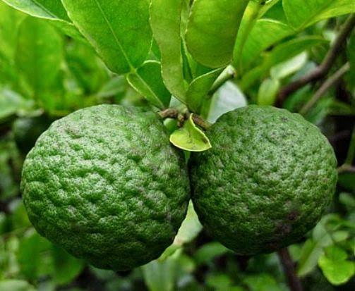 Tanaman Jeruk Limo