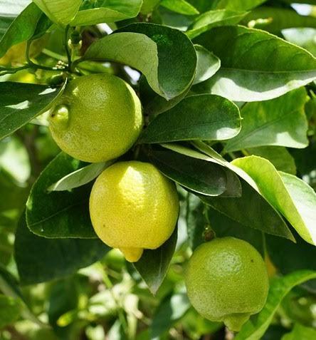 Tanaman Lemontea