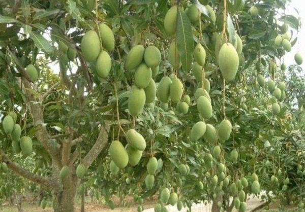 Mangga Arumanis