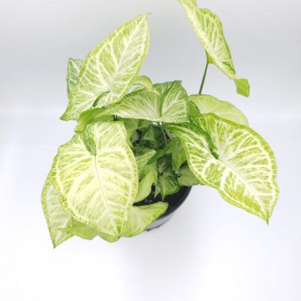 Syngonium Podophyllum White